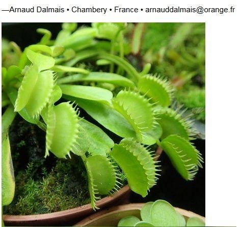 Nouveau cultivar enregistré Dionaea 'Farou' Farou110