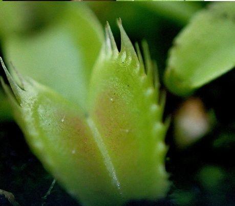 Nouveau cultivar enregistré Dionaea 'Farou' Farou210