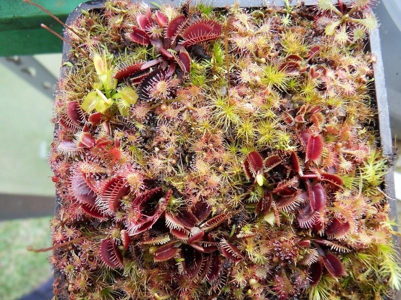 Donne cultivars ratés  Sdc13714