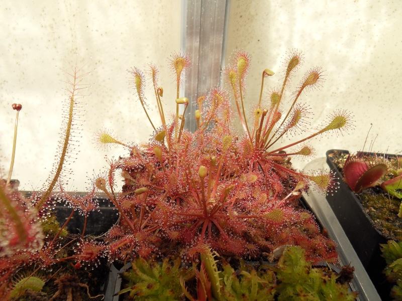 Drosera x beleziana 'Giant' Sdc13819