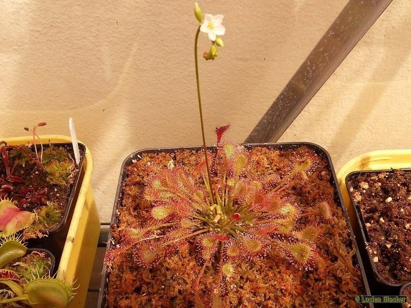 Rotundifolia, beleziana, intermedia X_bela11