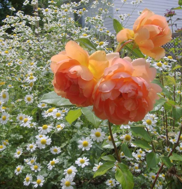 tanacetum jackpot de fleur de peau 3patta10