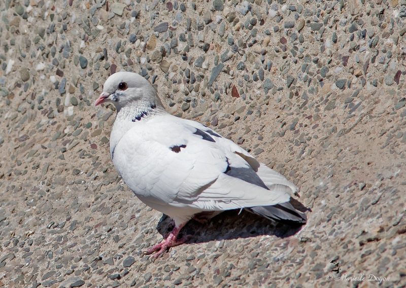 Série de pigeons Biset  Img_6322