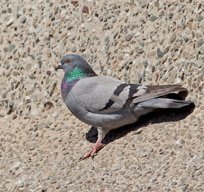 Série de pigeons Biset  Img_6325