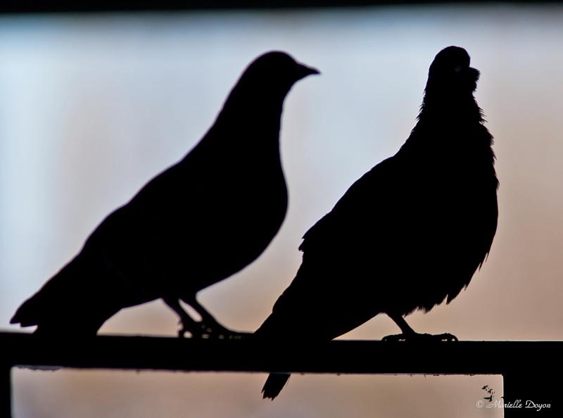Série de pigeons Biset  Img_6326