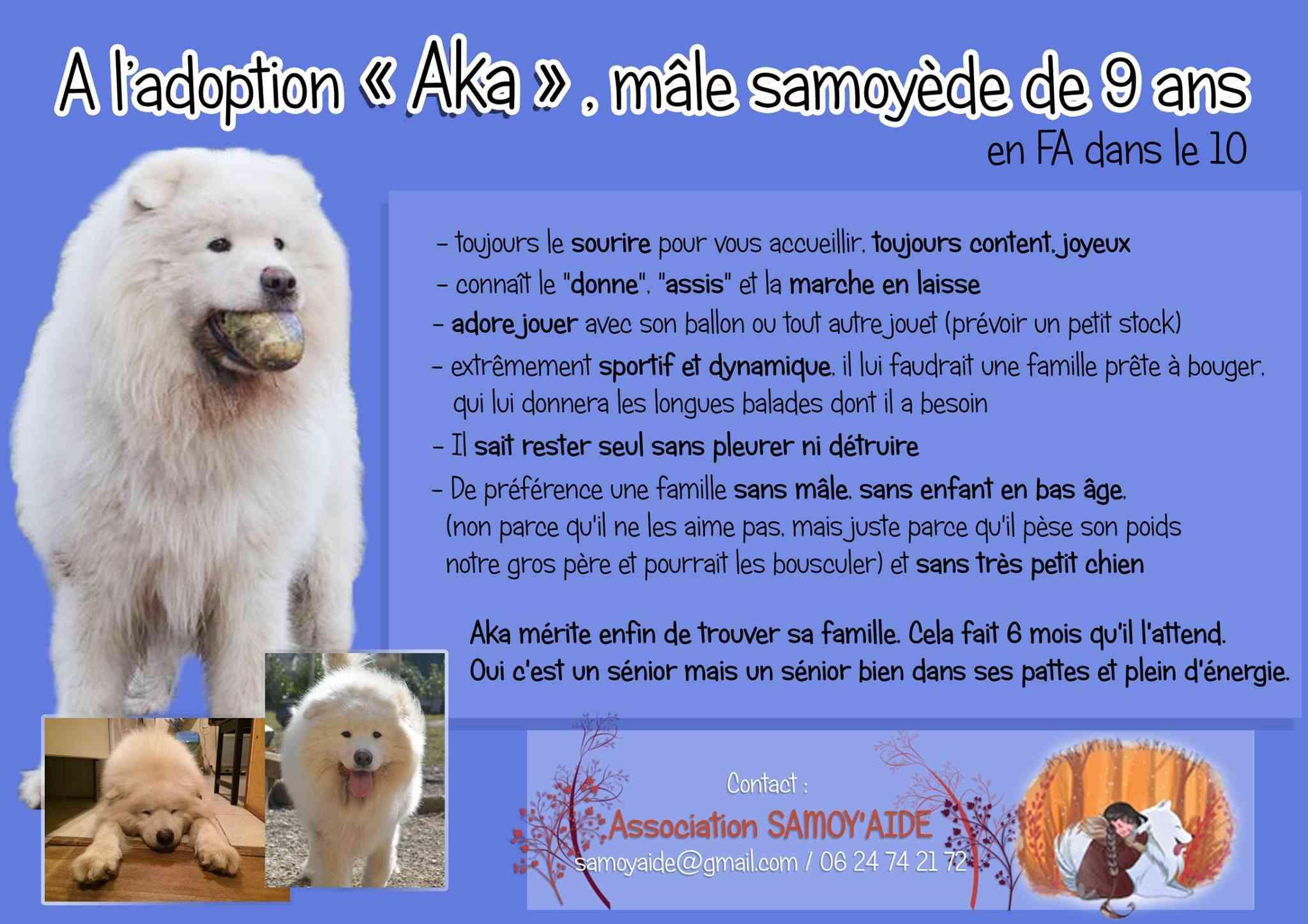 Aka gentil Samoyède de 9ans .... ASSO10  ADOPTE 10914810