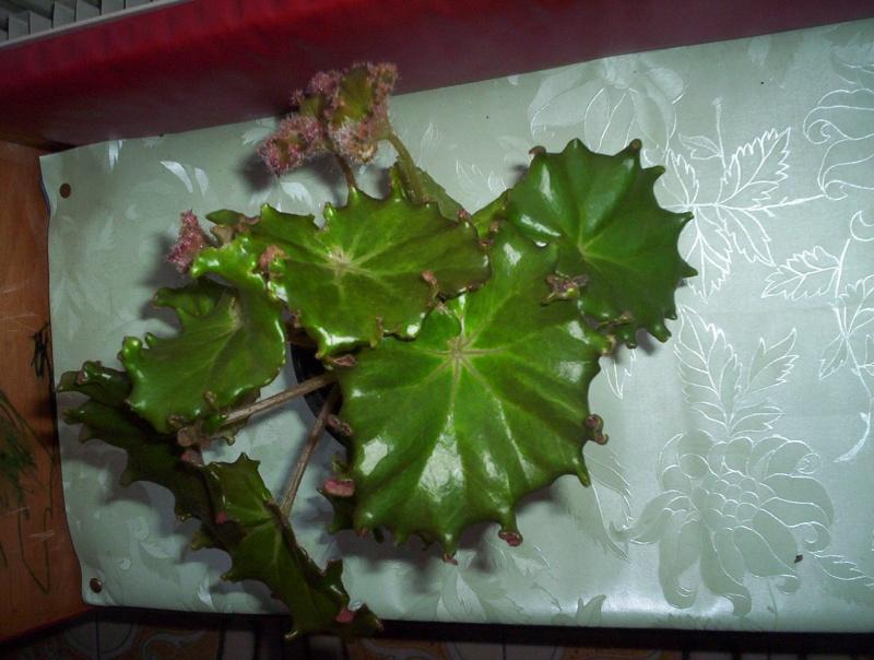 Begonia 'Erythrophylla Bunchii' (rhizomateux) Aaaaa_10
