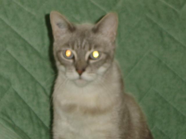 élia 5ans croisée siamoise yeux bleus Elia_116
