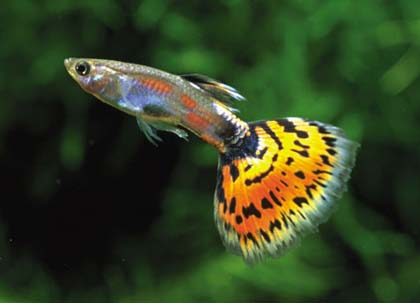 Le guppy (poisson d'eau douce) 1guppy11