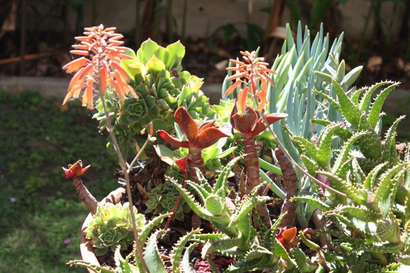 floraison Aloe_s10