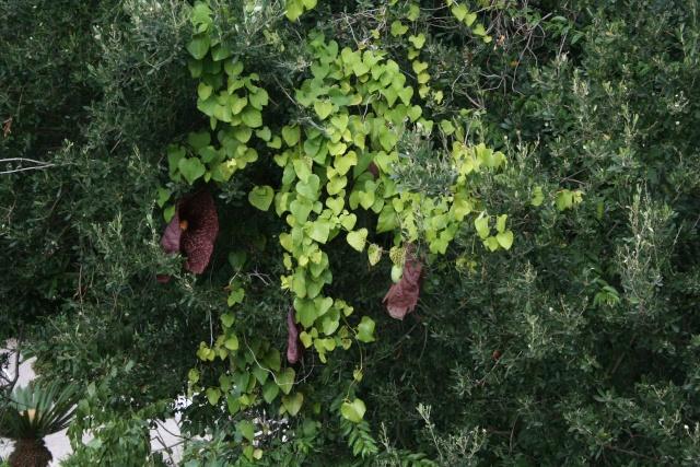 Aristolochia gigantea, fleur bizzare autant qu'étrange Aristo11