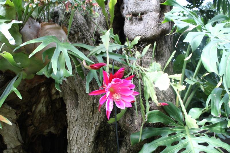 Epiphyllum Appassionata Epiphy10