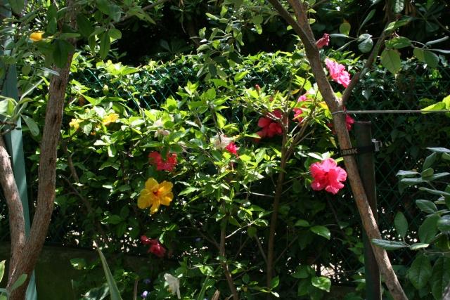 Et d'autres fleurs, colorées, cette fois Hibisc11
