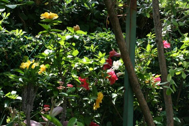 Et d'autres fleurs, colorées, cette fois Hibisc12
