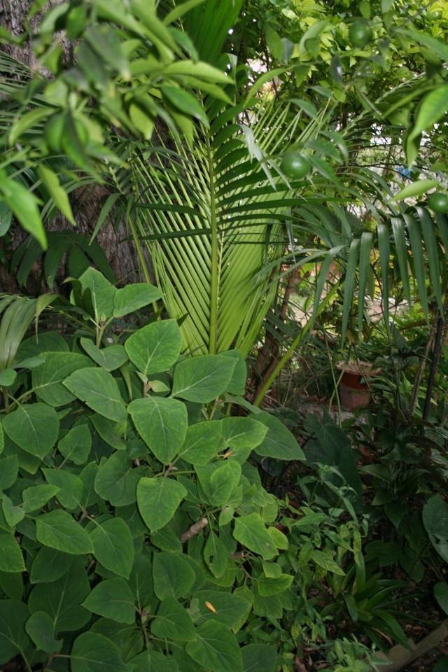 Tour de jardin en ce début septembre Howea_10
