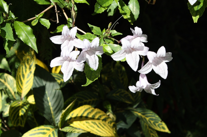 Photos d' Acanthaceae en fleurs actuellement  Makaya10