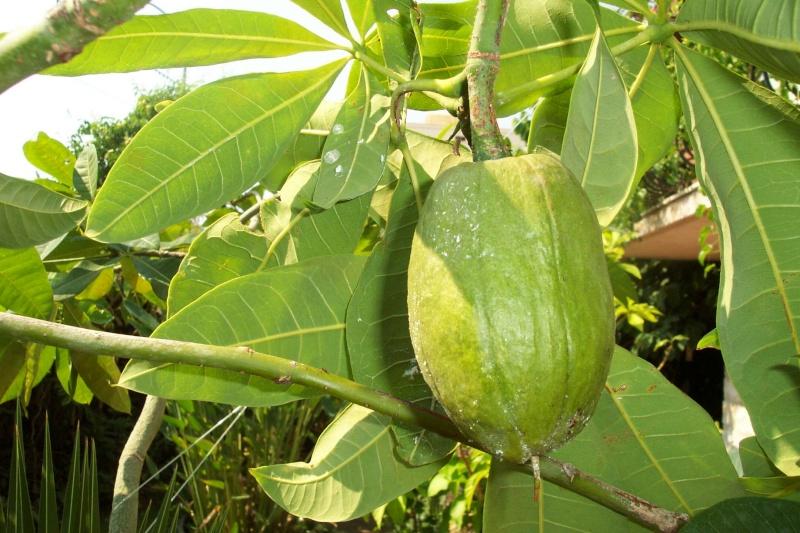 Pachira aquatica en arbre Pachir11