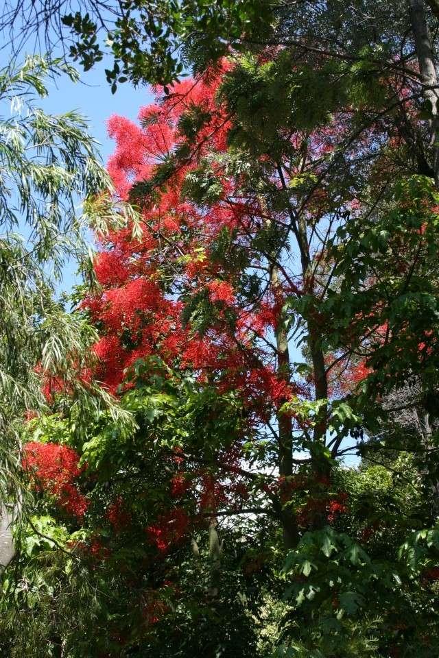 Brachychiton acerifolium, Flame tree Serre_13
