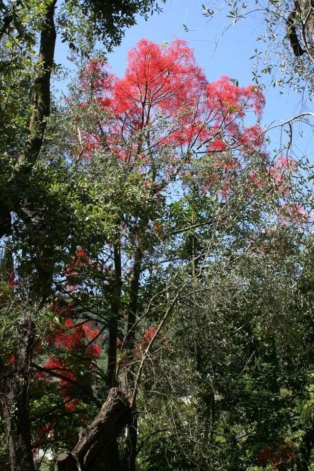 Brachychiton acerifolium, Flame tree Serre_14
