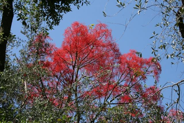 Brachychiton acerifolium, Flame tree Serre_15