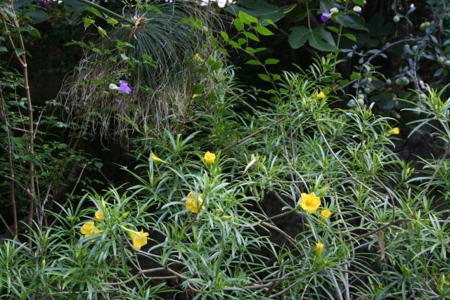 Et d'autres fleurs, colorées, cette fois Thevet10