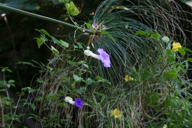 Et d'autres fleurs, colorées, cette fois Thunbe11