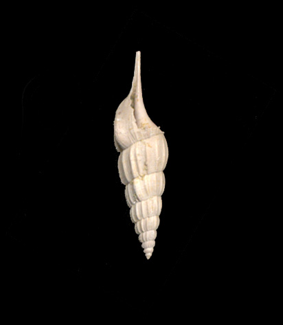 [résolu]Rimella fissurella cuisensis Glibert, 1963 Tibia_10
