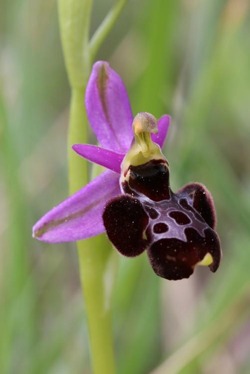 """Ophrys bertolonii bertolonii (""""aurelia"""")  X vetula Oberto11"""