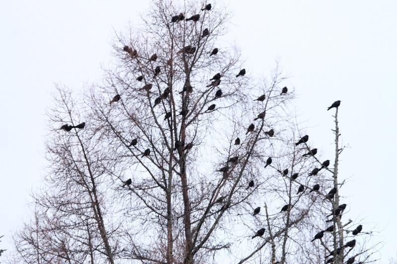 Une volée d'oiseaux, qui sont-ils Img_3710
