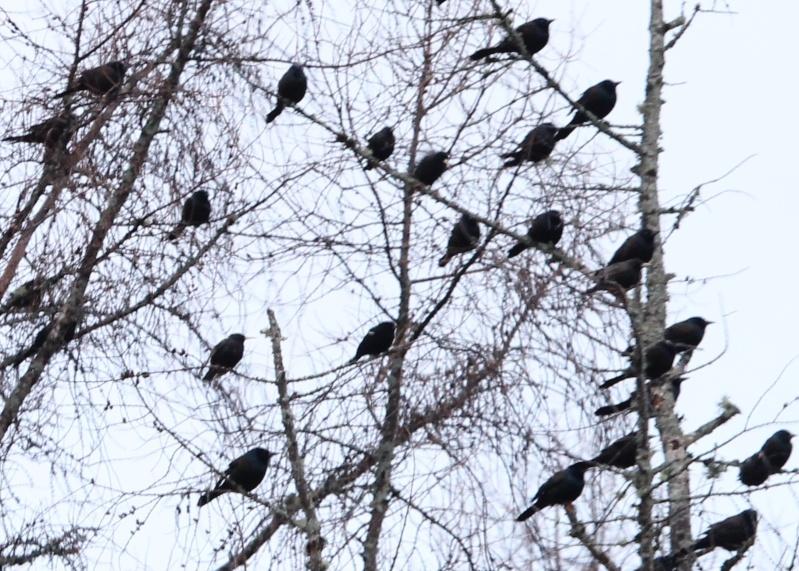 Une volée d'oiseaux, qui sont-ils Img_3712