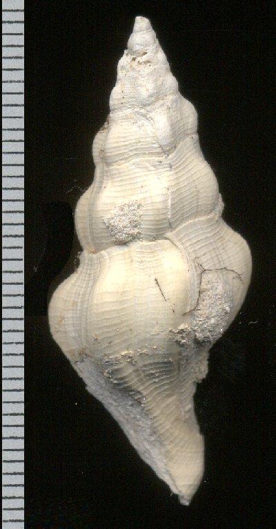 Gastéropode lutetien moyen de l'oise 3 Gast3_10