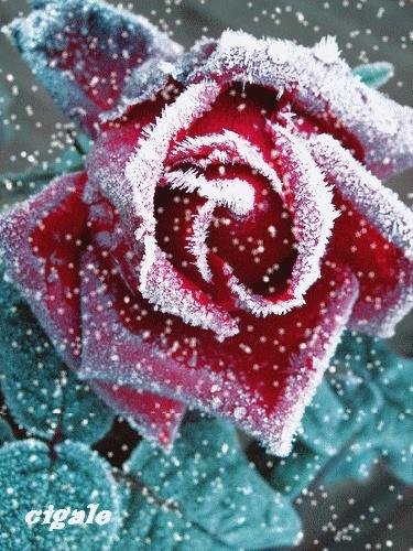 Les roses. - Page 6 Eofmxd10