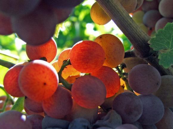 Le raisin ( les vendanges) Septe110
