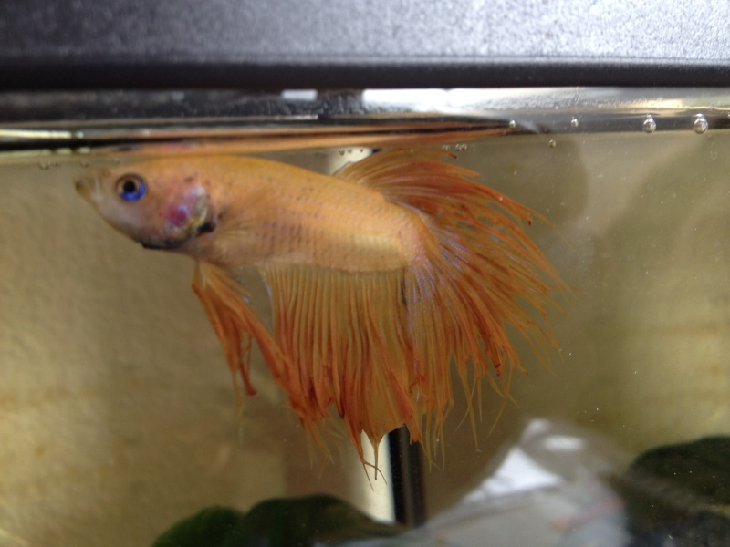 Betta malade ? Photo10
