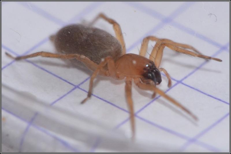 Clubionidae [Clubiona sp.] Clubio10