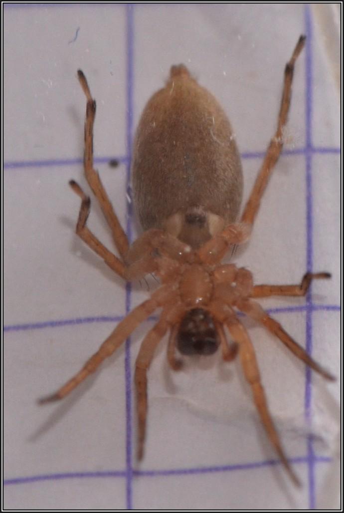 Clubionidae [Clubiona sp.] Clubio11