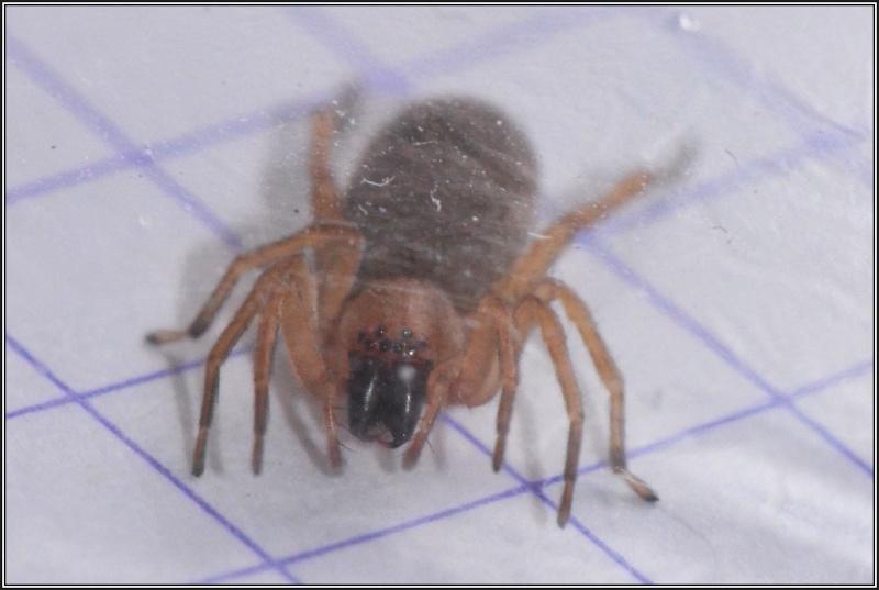 Clubionidae [Clubiona sp.] Clubio12