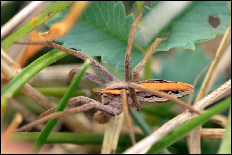 Un mâle admirable [Pisaura mirabilis] Pisaur10
