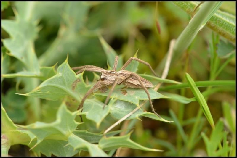 Un mâle admirable [Pisaura mirabilis] Pisaur15