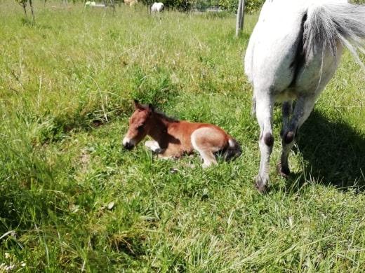 poulain poney A 58933310