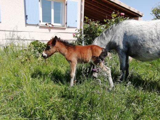 poulain poney A 59684810