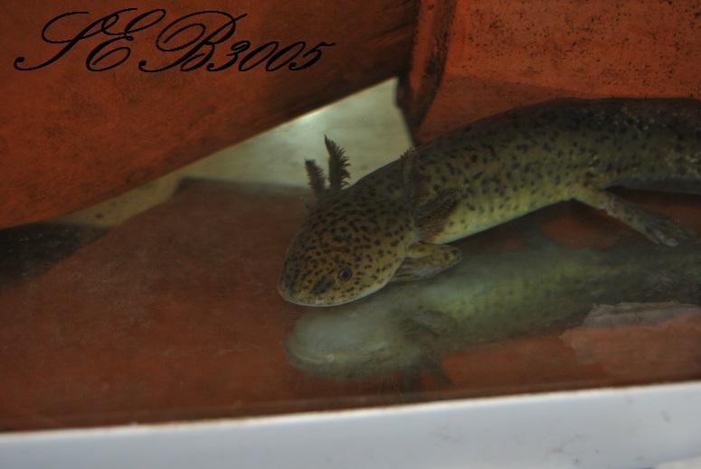 mes axolotls  Dsc_0029