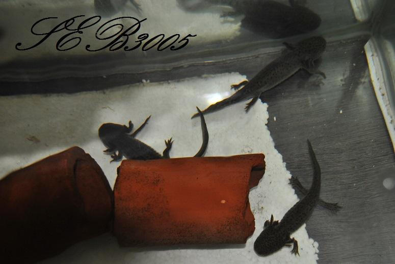 mes axolotls  Dsc_0032
