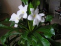 enfin mon frangipanier à fleuri Les_va10