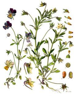 Pensée Sauvage, Viola tricolor Pensee10