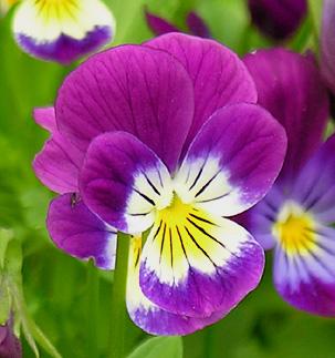 Pensée Sauvage, Viola tricolor Violaf10