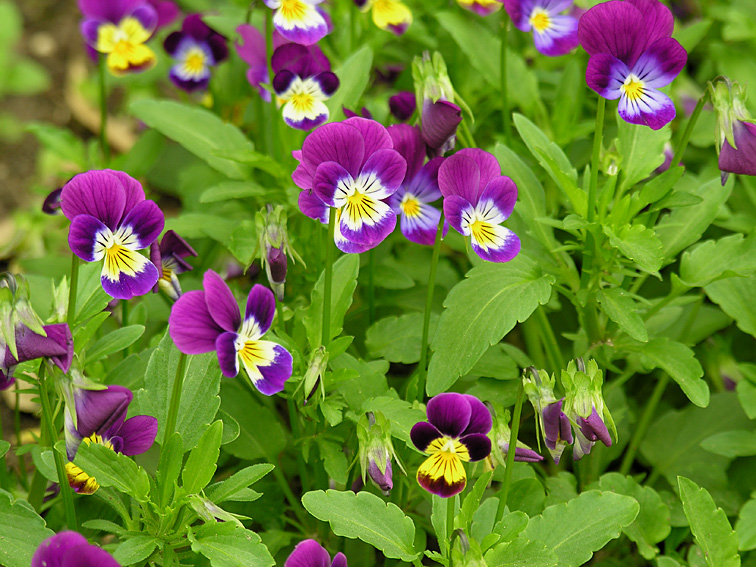 Pensée Sauvage, Viola tricolor Violat11