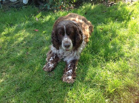 Beethoven springer male 10 ans dpt 62 - Page 6 Beetho16