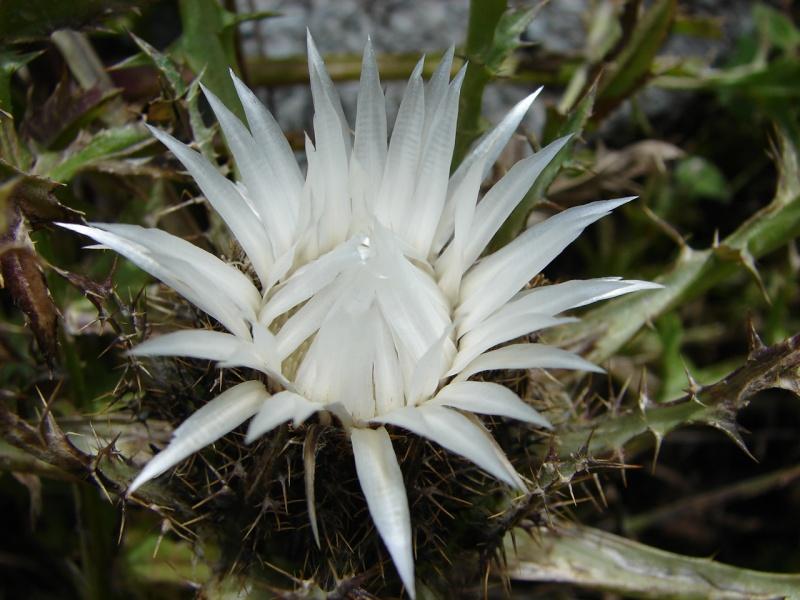 La flore en Haute Tarentaise Dsc03510