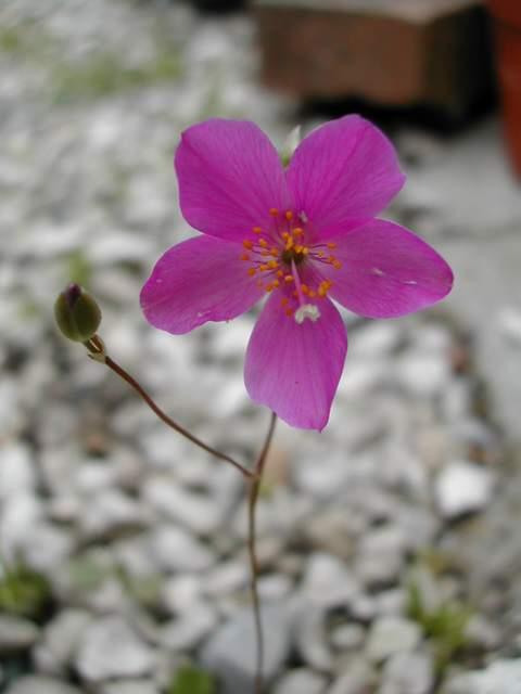 Talinum spinescens Talinu10